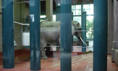 Watoto the elephant pacing in a cage