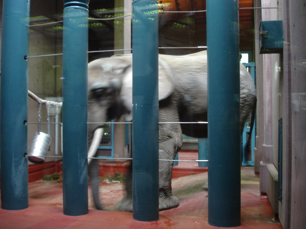 Watoto the elephant, caged and alone